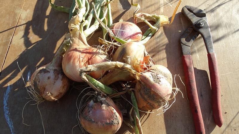 Egyptian walking tree onions