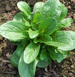Corn Salad - 68RW27