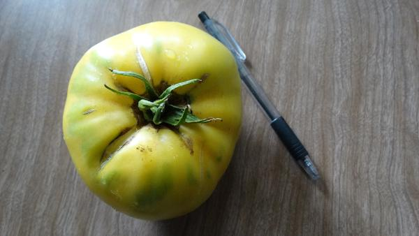 Tomato - Toms Yellow Wonder - 18RW86