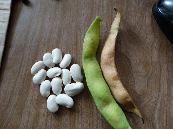 Bean - Greek Gigante - 46RW5