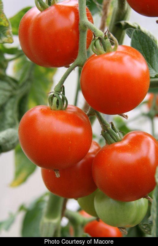 Tomato - Oregon Spring - 97RG80A