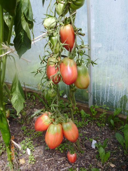 Tomato - Duncan Wilson - 12RG82