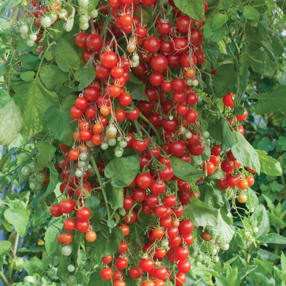 Tomato - Sweet 100 98RG88