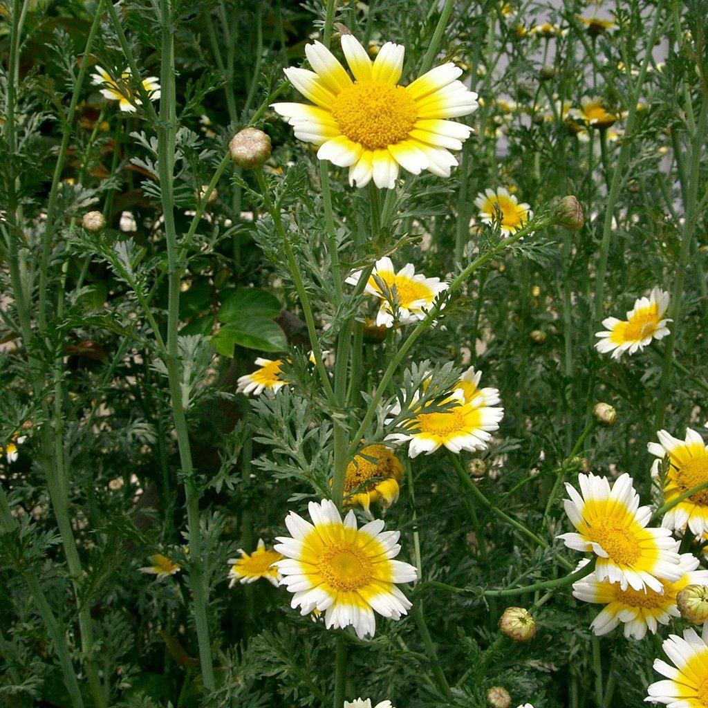 Edible Chrysanthemum - 90RG28