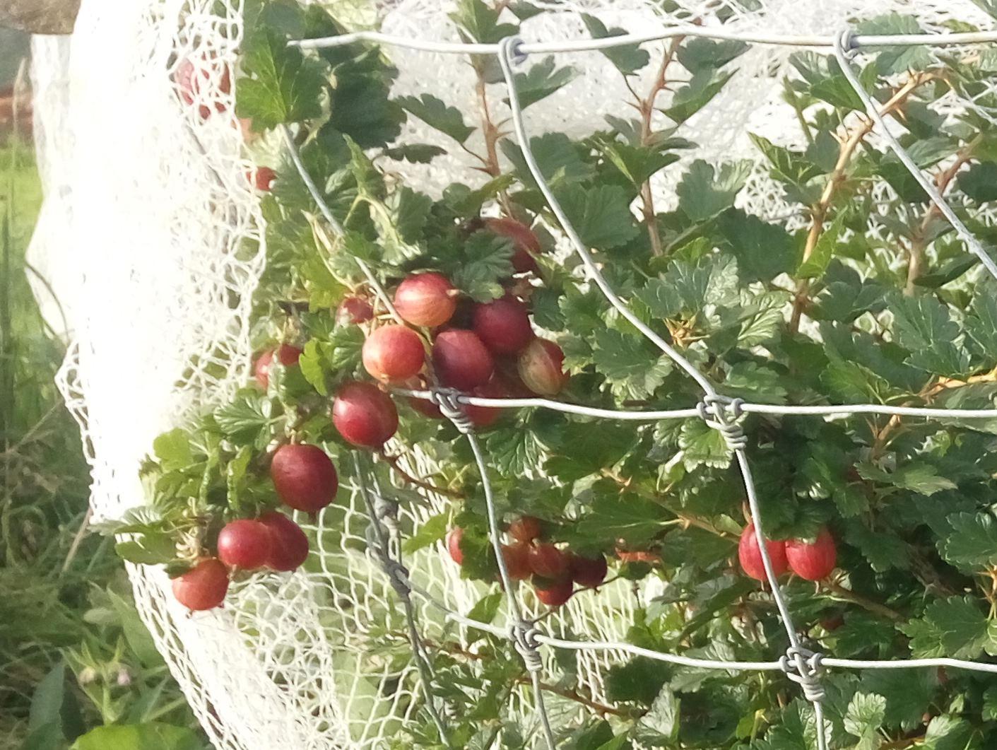 Gooseberry - Farmers Glory - 59RT33