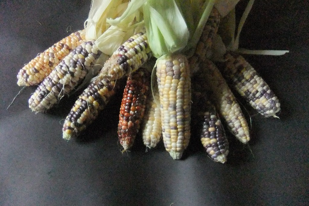 Corn - Kascade Korn - 85NS26
