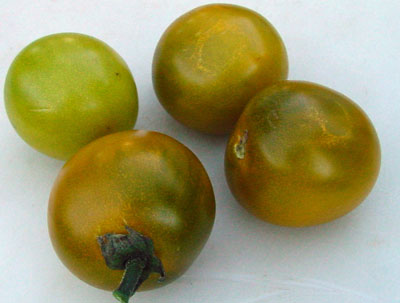 Tomato - Green Grape - 147RG83A