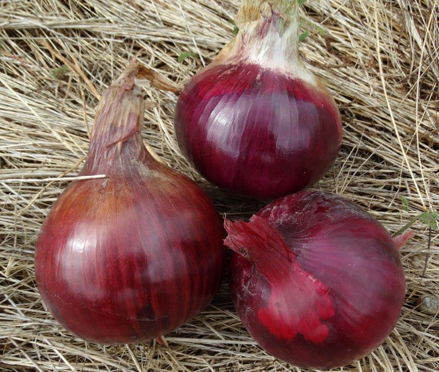 Onion - Medbury Red Longkeeper - 35RW48