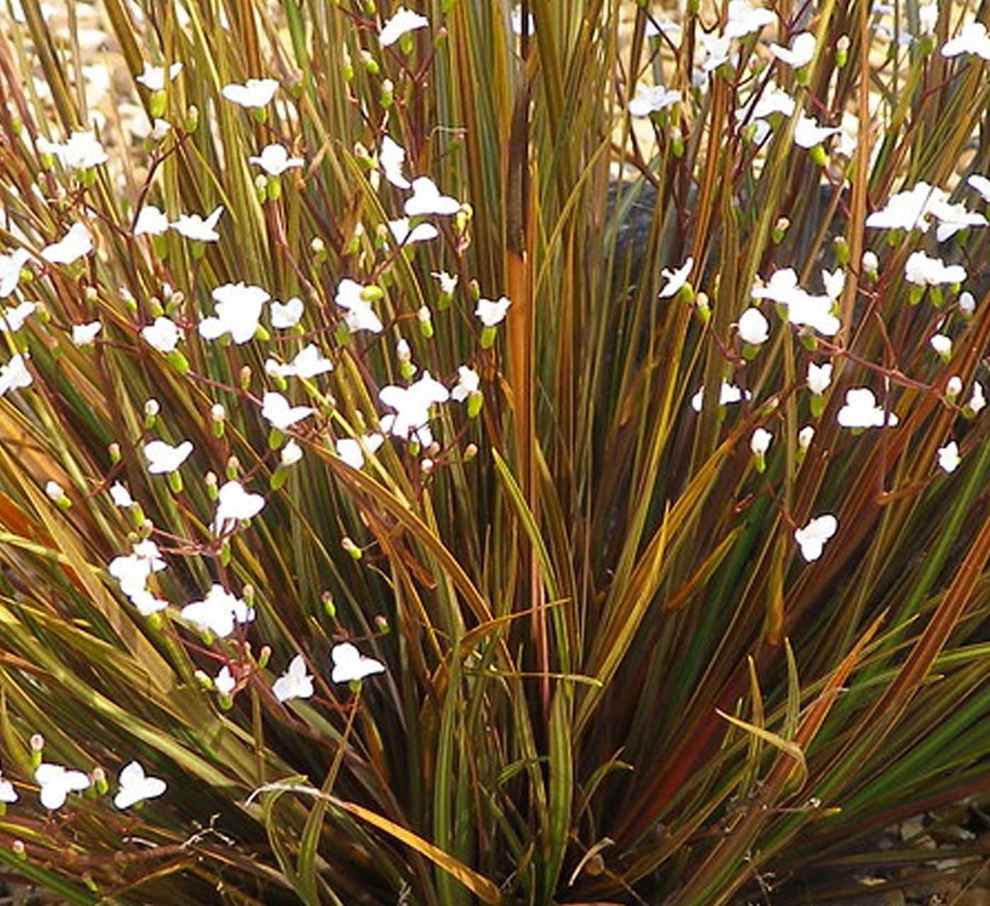 NZ Iris, Libertia - 189SS