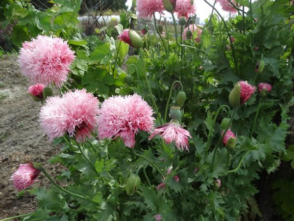 Poppy - Pink Pom Pom - 191RW