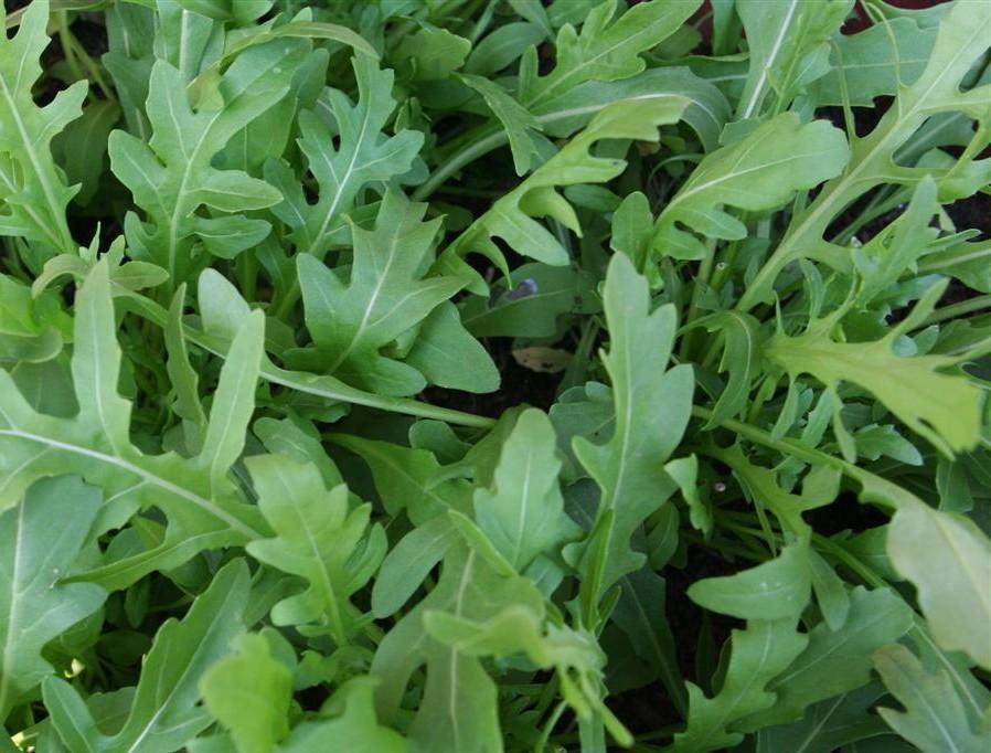 Lettuce, Rocket - 187SS