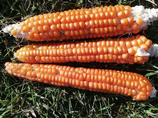 Maize - Billard - 122RW94A