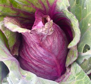 Kalibos Cabbage - 118