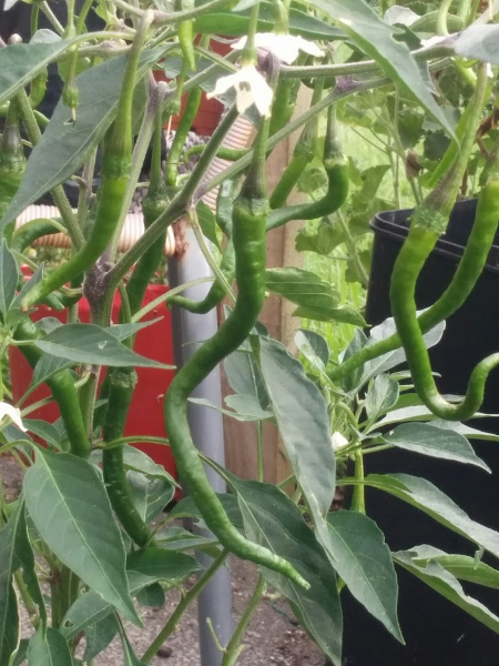 Chilli Pepper - Kopay - 153MT96A