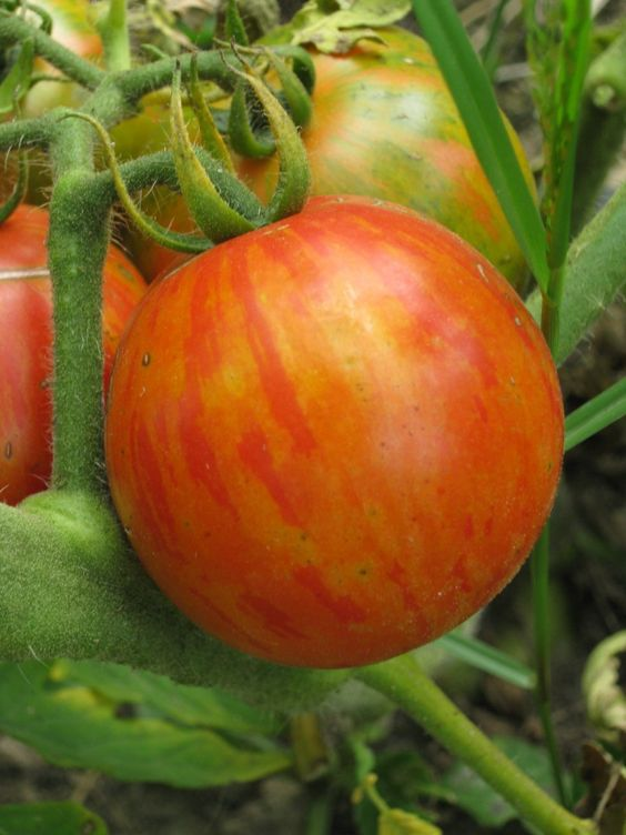 Tomato - Tigerella - 130MT63