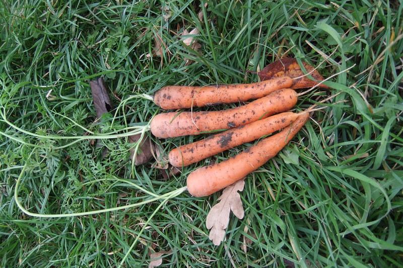 Carrot - Baby Slenderette - 32NS89B