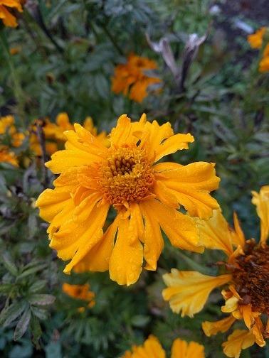 Marigold - Tagates erecta - 149MT70A