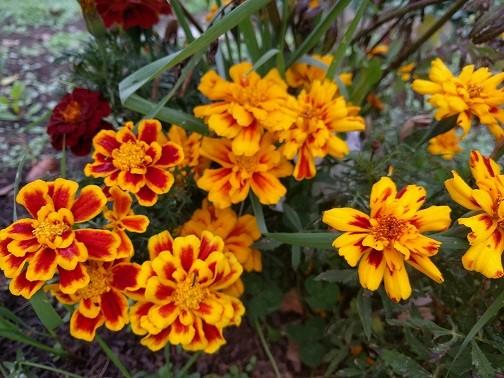 Marigold - Tagates patula - 41MT71A