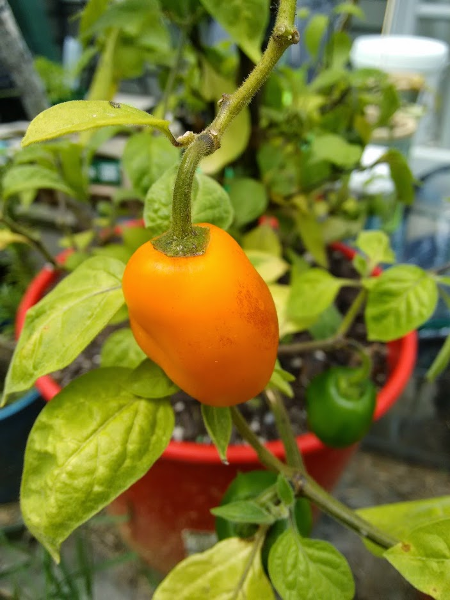 Chilli Pepper - Rocoto Yellow - 152MT96