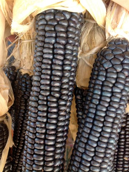 Corn - Blue Hopi - 162RG101