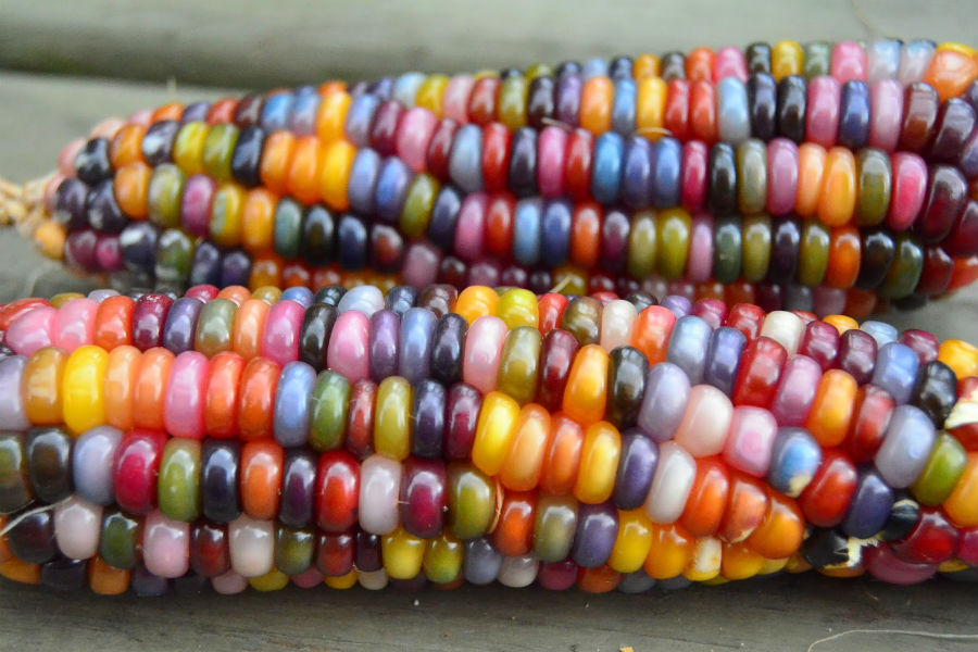 Corn - Glass Gem - 116MT93