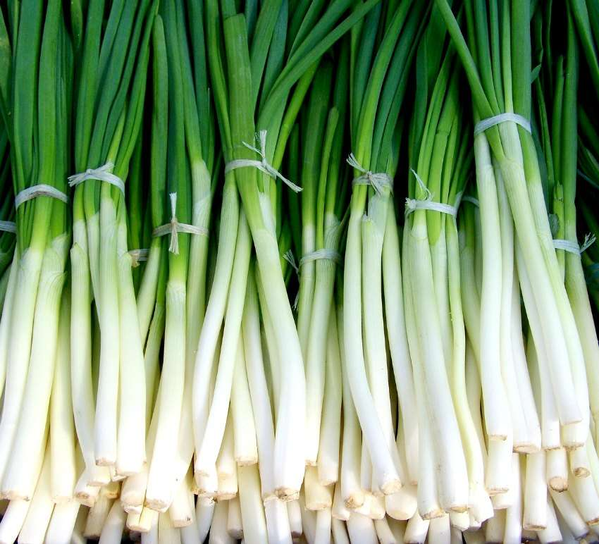 Spring Onion - 61ASS