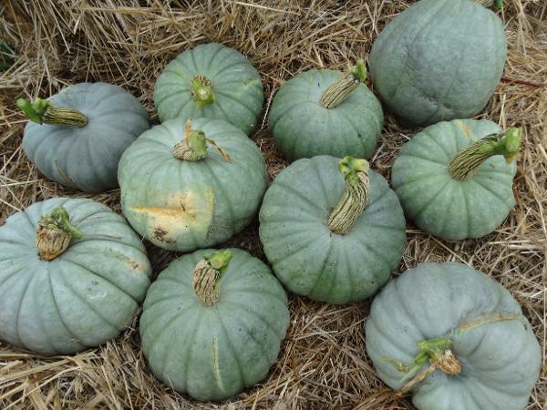Pumpkin - Crownchestnut - 90aRW
