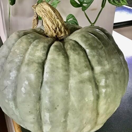 Pumpkin - Jarriahdale - 156CMK