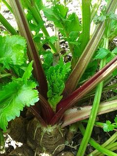 Celery - Red Giant - 2RW18