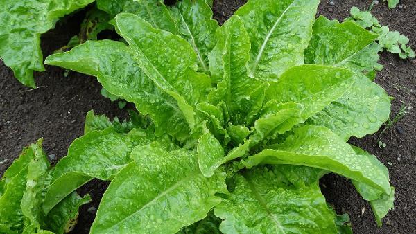 Lettuce - Arabic - 24RW42