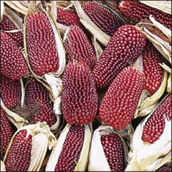 Corn - Strawberry popcorn 121MT77A